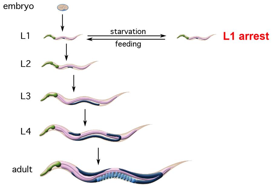 C. elegans larval stages